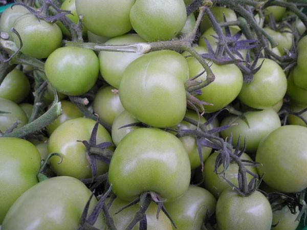 Gruene-Tomaten-Biplantol_140